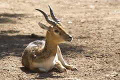 Young male blackbuck antelope Royalty Free Stock Photos