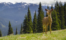Young Male blacktail deer in mountain meadow. A young Male blacktail mule deer with new antlers poses in a meadow with mountains in the background. Taken in Stock Image