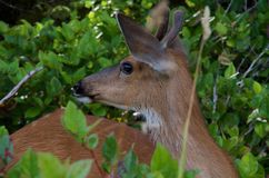 Young male blacktailed deer looks over its shoulder pointing its large ears towards a sound. While browsing in salal berries in coastal BC stock image