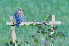 Young male bluebird on vine trellis Royalty Free Stock Photo
