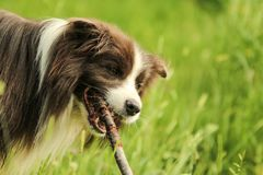 Young male border collie biting a stick. A detail picture of the young male border collie biting a stick. He looks happy and satisfied Royalty Free Stock Photos