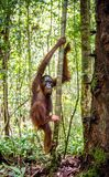 Bornean Orangutan on the tree in a natural habitat. Young male of Bornean Orangutan on the tree in a natural habitat. Bornean orangutan Pongo  pygmaeus wurmbii Stock Images