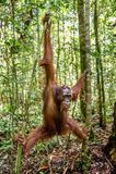 Young male of Bornean Orangutan on the tree in a natural habitat. Bornean orangutan Pongo  pygmaeus wurmbii in the wild nature. Rainforest of Island Borneo Stock Image
