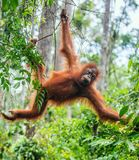 Young male of Bornean Orangutan on the tree in a natural habitat. Bornean orangutan Pongo pygmaeus wurmbii in the wild nature. Rainforest of Island Borneo royalty free stock images