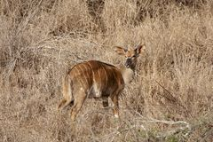 Young male bushbuck Royalty Free Stock Images