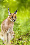 Young male caracal in grass. Royalty Free Stock Photography