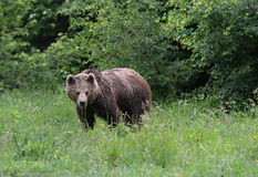 Young male of carpathian brown bear walking to the forest Royalty Free Stock Photos