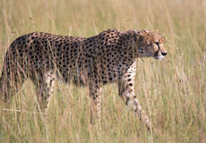 Young male Cheetah Stock Photos