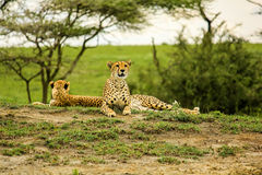 Young cheetahs. Young male cheetahs in Tarangire National Park, Tanzania Africa Royalty Free Stock Images