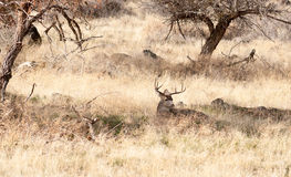A Young Male Deer Buck Lays in the Shade Royalty Free Stock Photos