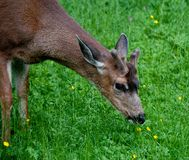 Young male  deer eating buttercups Royalty Free Stock Images