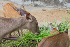Young male deer Royalty Free Stock Photo