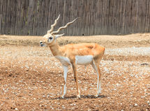 A young male deer  in the ground Royalty Free Stock Photo