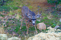 Young male deer. Looking at camera Royalty Free Stock Photo