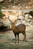 A young male deer with a nice antler. Standing and looking directly royalty free stock image