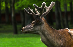 Young male deer, Poland Royalty Free Stock Images