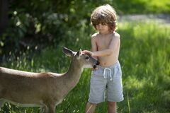 Young male deer walks in the park and eats from the hands of children. Deers bambi and wild animals concept. Child on