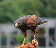 Young male eagle in Safari Park Royalty Free Stock Photo