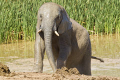 Young male Elephant Stock Image