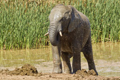 Young male elephant cooling off Royalty Free Stock Image