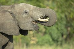 A young male elephant drinking royalty free stock photography