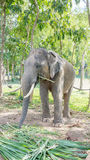 Young male elephant Royalty Free Stock Photos