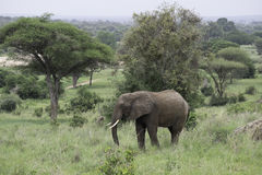 Young Male Elephant Grazing. In woody area in Tarangire national Park, Tanzania royalty free stock image