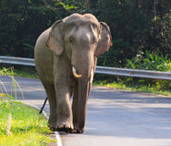 Young male elephant in khaoyai national park important natural t. Raveling destination in thailand stock images