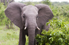 Young male elephant in Kruger park. South Africa royalty free stock image