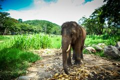 Young male elephant standing in the field Royalty Free Stock Images
