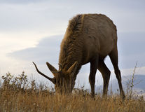 Young Male Elk Grazing Montana Stock Images