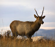 Young Male Elk Horns Montana Royalty Free Stock Photography