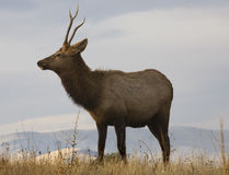 Young Male Elk in Meadow Montana Stock Images