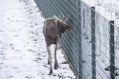 Young male elk in a park. In snowy wintertime stock photo