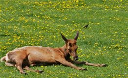 Young Male Elk with small antler horns. Basking in the sun in a meadow of dandelions royalty free stock photography