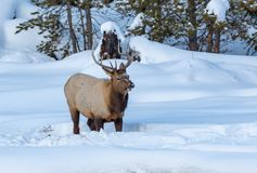 Young male elk stands in deep snow in Yellowstone in winter royalty free stock images