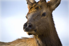 Young Male Elk Very Close Up Montana Royalty Free Stock Photography