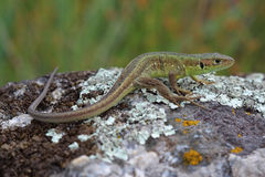Young male of  European green lizard Royalty Free Stock Photography