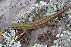 Young male of  European green lizard Stock Photo