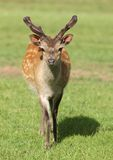 Young male Fallow Deer Stock Photos