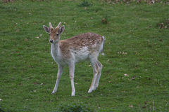 Young male Fallow deer Royalty Free Stock Photography