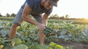 Young male farmer picking cucumber at organic eco farm. Young male farmer harvesting crop of ripe cucumbers on big field in beautiful evening sun at organic eco royalty free stock images