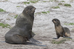 Young male and female northern fur seals on the beach Bering Isl Stock Photography