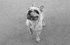Young male french bulldog Stock Images