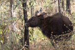 Young male gaur or Indian bison who grazes in the woods on a win Stock Photography
