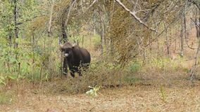 Young male gaur or Indian bison who stands among the trees in the forest on a winter sunny day. Family of gaurs or Indian bison who rests on a small forest glade stock footage
