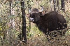 Young male gaur or Indian bison who stands among the trees and g Royalty Free Stock Images