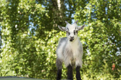 Young male goat portrait. Young male African dwarf goat in front of the camera Royalty Free Stock Photo