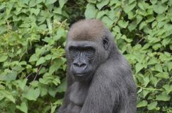 Young male gorilla. A six year old male western lowland gorilla sits among the leaves Royalty Free Stock Images