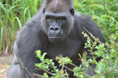 Young male gorilla Royalty Free Stock Photo